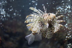 Focus the Lionfish and dangerous. Royalty Free Stock Photography