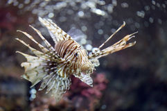 Focus the Lionfish and dangerous. Stock Photos