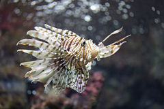 Focus the Lionfish and dangerous. Stock Photo