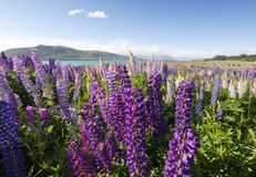 Focus locked on colorful lupines Royalty Free Stock Photos