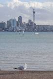 Focus on lone seagull bird with blurred background of Auckland's Royalty Free Stock Images