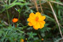 Focus orange flowers Stock Images