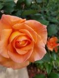 Focus on orange rose. Focus on the bright orange rose royalty free stock photography