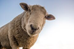 Focus Photo of Brown Sheep Under Blue Sky Stock Photos