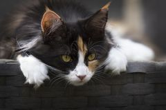Focus Photo of Calico Cat Stock Photography