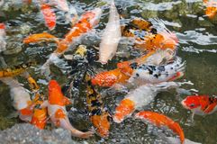 Focus Photo of Orange White and Black Fish in Ponds Stock Photos
