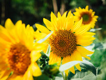 Focus Photo of Yellow Sun Flowers Stock Photos