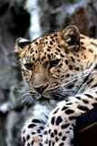Focus Photography of Black and Brown Leopard Sitting Stock Image