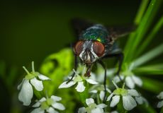 Focus Photography of Green Bottle Fly Stock Image