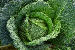 Focus Photography of Green Cabbage Royalty Free Stock Photo