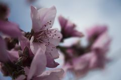 Focus Photography of Pink Flowers Stock Image