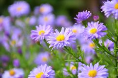 Focus Photography of Purple Daisy Flowers Stock Photos