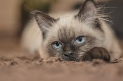 Focus Photography of Siamese Cat Stock Image