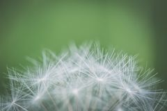 Focus Photography of Withered Dandelion royalty free stock images