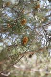 Pine Cones on a Branch of a Pine Tree Royalty Free Stock Photos