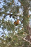 Pine Cones on a Branch of a Pine Tree Stock Image