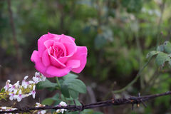 Focus pink rose. On green background stock photo