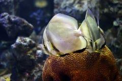 Focus on Platax fish. Focus on Platax fish in the Aquarius Stock Image