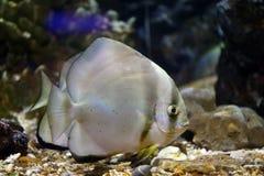 Focus on Platax fish. Focus on Platax fish in the Aquarius Stock Photos