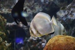 Focus on Platax fish. Focus on Platax fish in the Aquarius Royalty Free Stock Photo