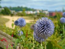 Purple Dandelion, Bristol, England royalty free stock images