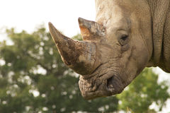 Focus on Rhino horn Royalty Free Stock Image