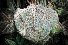 Focus root of big tree hanging the stone Royalty Free Stock Photos