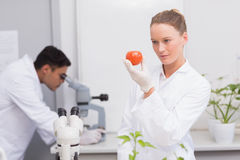 Focus scientist looking at tomato Royalty Free Stock Image