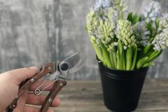 Focus on secateur, garden scissors. Still life flower hyacinth. Bulbous plant, which grows in the garden area and in the. Still life flower hyacinth. Bulbous Stock Photography