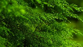 Focus Shift, green tree leaf, early morning rain drops falling. Early morning rain drops falling shot at nature background stock video