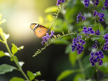 Focus shot of a butterfly standing on a duranta flower with simu Stock Image