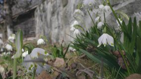 Focus on the snowdrops! Little, fragile flowers.