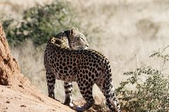 Back view of radio-collared African leopard on termite mound looking back over shoulder at Okonjima Nature Reserve, Namibia. Focus on spots on back of leopard in stock photography