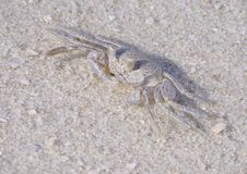 Focus Stacked Closeup Image of a Young Ghost Crab on a Beautiful White Sand Beach stock image