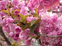 Focus Stacked Image of Cherry Blossoms in Full Bloom Stock Photography