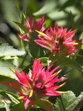 Focus Stacked Image of Indian Paint Brush Flowers Stock Image
