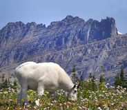 Focus Stacked Image of a Mountain Goat Glacier National Park Royalty Free Stock Photography