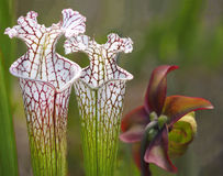Focus Stacked Image of Two Crimson Pitcher Plants with Blossom Stock Images