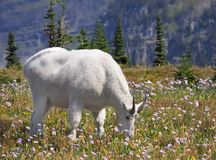 Focus Stacked Image of a White Mountain Goat Grazing Among the W Royalty Free Stock Images