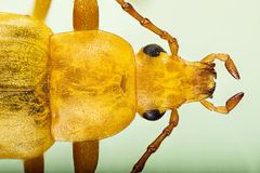 Comb-clawed Beetles, Sulphur Beetle, Beetle, Cteniopus flavus Royalty Free Stock Photography