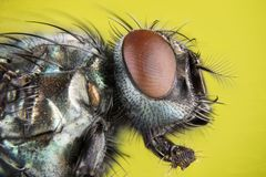 Focus Stacking - Common Green Bottle Fly, Greenbottle Fly, Flies. Macro Focus Stacking - Common Green Bottle Fly, Greenbottle Fly, Flies Stock Photography