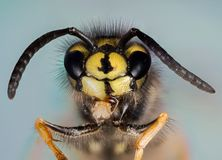 Common Wasp, Wasp Stock Images
