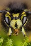 Common Wasp, Wasp Royalty Free Stock Photos