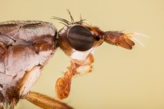 Dichetophora obliterate, Fly, Flies Royalty Free Stock Image