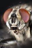 Flesh-fly, Flesh Fly. Focus Stacking - Flesh-fly, Flesh Fly royalty free stock image