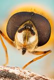Hover Fly, Flower Flies, Syrphid Flies, Hoverflies, Diptera, Syrphidae royalty free stock photos