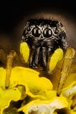 Jumping Spider, Copper Sun-jumper, Copper Sun Jumper, Spider, Heliophanus cupreus, Salticidae Royalty Free Stock Images