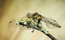 Vagrant Darter, Dragonfly, Sympetrum vulgatum Stock Image