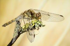 Vagrant Darter, Dragonfly, Sympetrum vulgatum Stock Photography