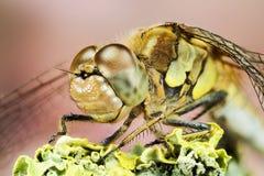 Vagrant Darter, Dragonfly, Sympetrum vulgatum Royalty Free Stock Photo